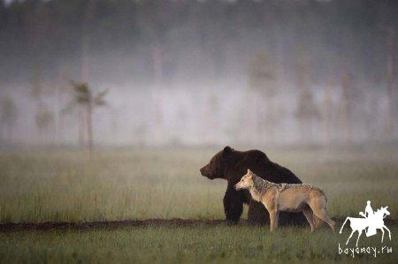 Информация по регулированию численности крупных хищников