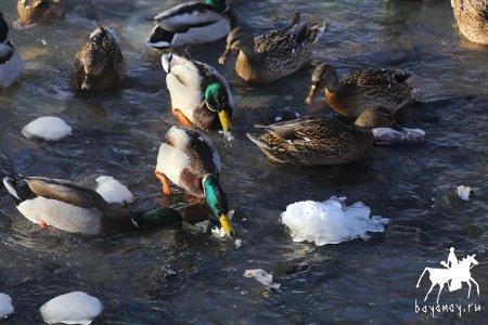 Сроки весенней охоты на водоплавающую дичь по группам улусов (районов)